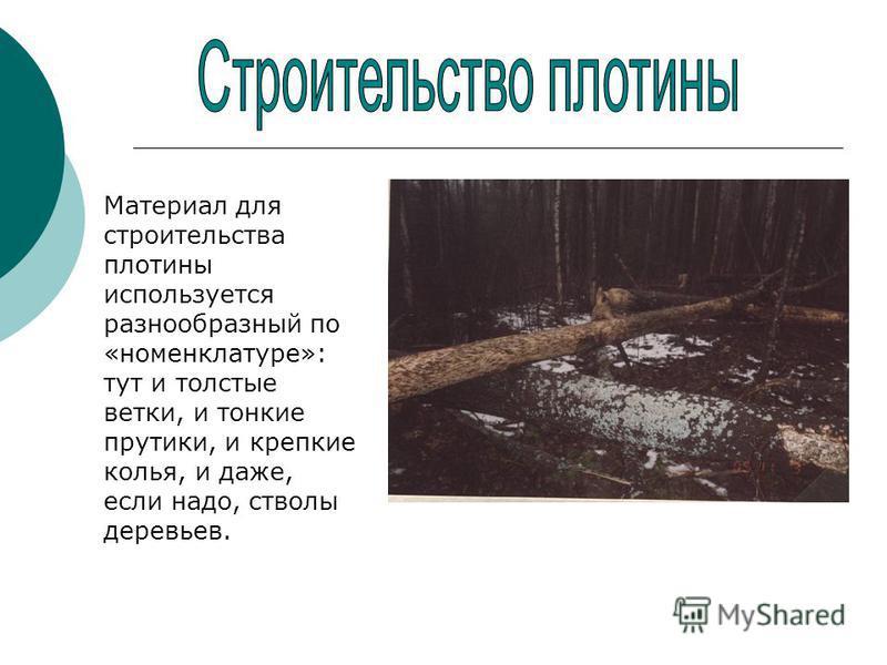 Материал для строительства плотины используется разнообразный по «номенклатуре»: тут и толстые ветки, и тонкие прутики, и крепкие колья, и даже, если надо, стволы деревьев.