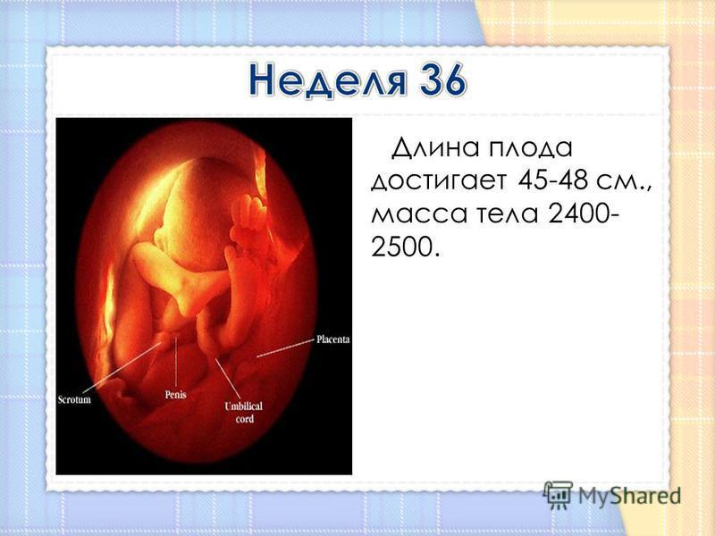 Длина плода достигает 45-48 см., масса тела 2400- 2500.