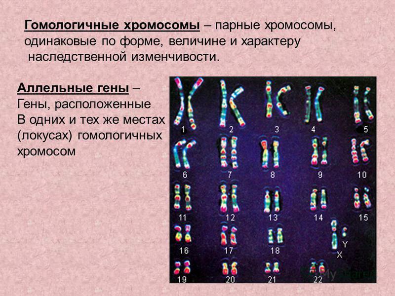 Гомологичные хромосомы – парные хромосомы, одинаковые по форме, величине и характеру наследственной изменчивости. Аллельные гены – Гены, расположенные В одних и тех же местах (локусах) гомологичных хромосом