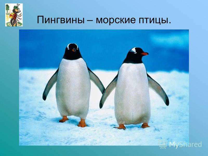 Пингвины – морские птицы.