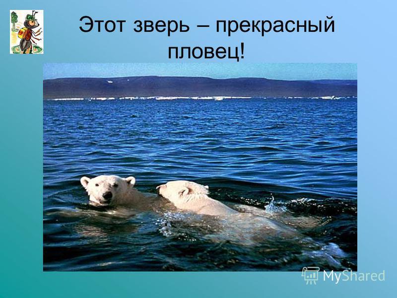 Этот зверь – прекрасный пловец!