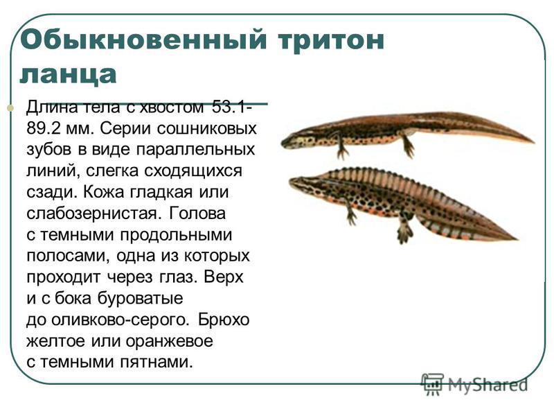 Обыкновенный тритон ланца Длина тела с хвостом 53.1- 89.2 мм. Серии сошниковых зубов в виде параллельных линий, слегка сходящихся сзади. Кожа гладкая или слабо зернистая. Голова с темными продольными полосами, одна из которых проходит через глаз. Вер