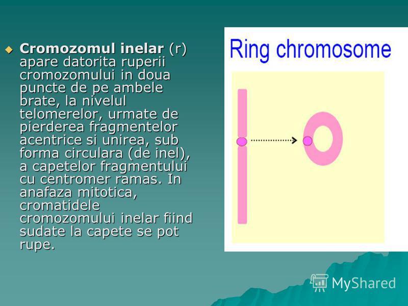 Cromozomul inelar (r) apare datorita ruperii cromozomului in doua puncte de pe ambele brate, la nivelul telomerelor, urmate de pierderea fragmentelor acentrice si unirea, sub forma circulara (de inel), a capetelor fragmentului cu centromer ramas. In