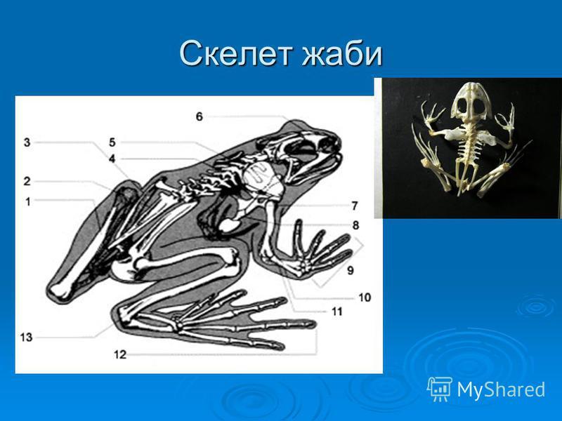 Скелет жаби