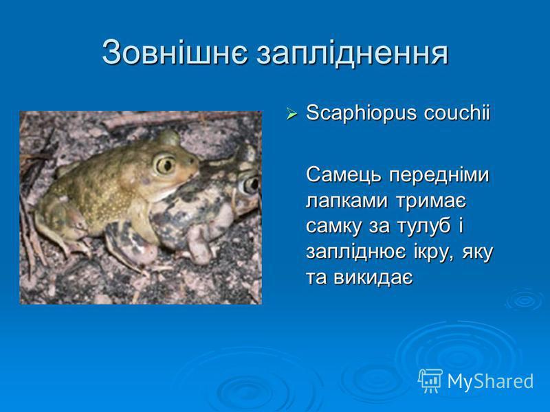 Зовнішнє запліднення Scaphiopus couchii Scaphiopus couchii Самець передніми лапками тримає самку за тулуб і запліднює ікру, яку та викидає