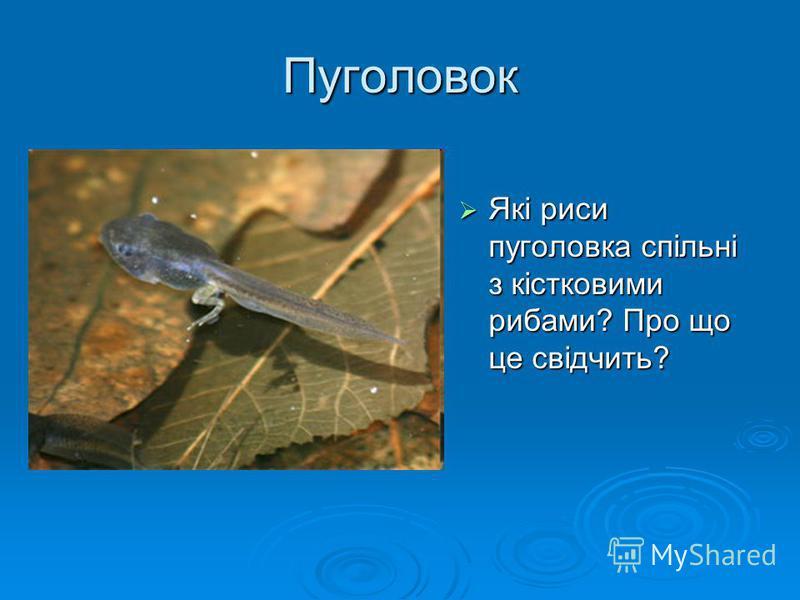 Пуголовок Які риси пуголовка спільні з кістковими рибами? Про що це свідчить? Які риси пуголовка спільні з кістковими рибами? Про що це свідчить?