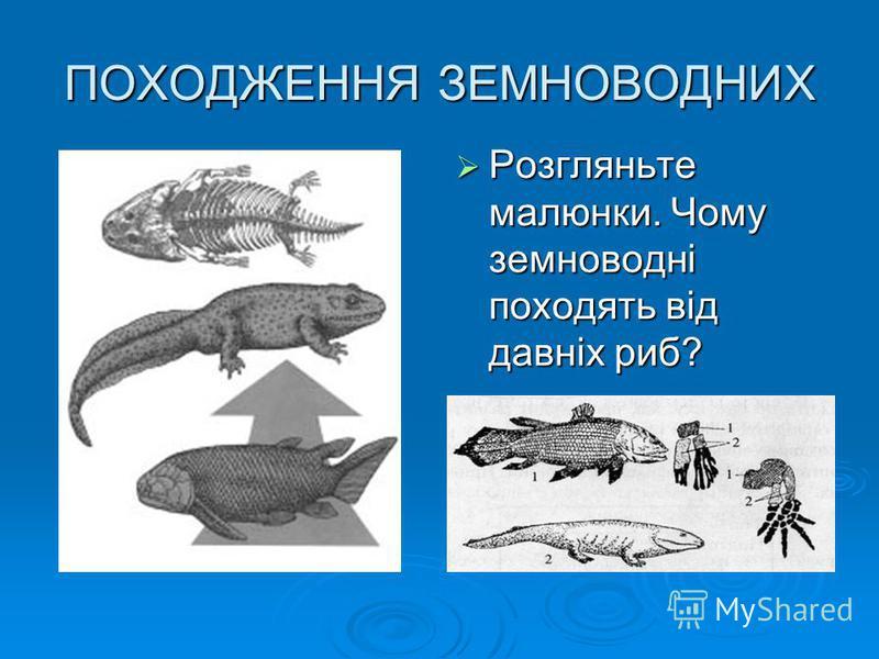 ПОХОДЖЕННЯ ЗЕМНОВОДНИХ Розгляньте малюнки. Чому земноводні походять від давніх риб? Розгляньте малюнки. Чому земноводні походять від давніх риб?