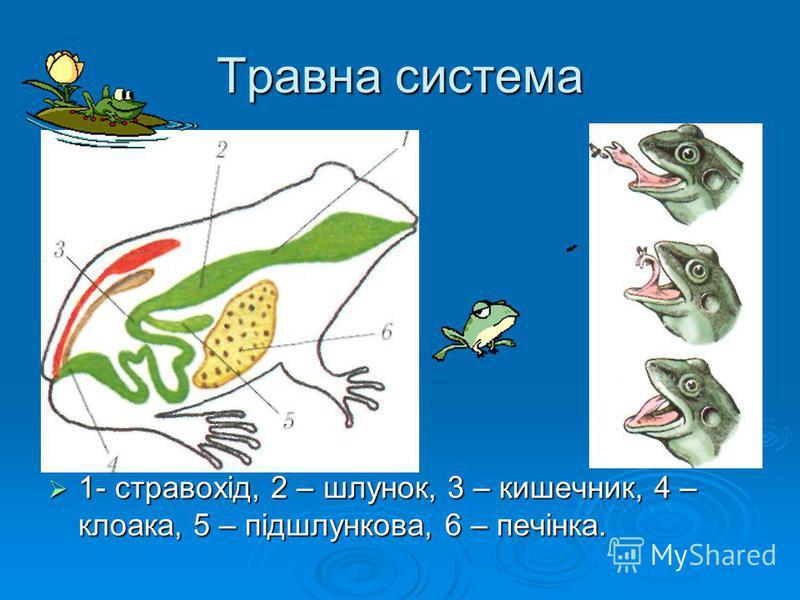 Травна система 1- стравохід, 2 – шлунок, 3 – кишечник, 4 – клоака, 5 – підшлункова, 6 – печінка. 1- стравохід, 2 – шлунок, 3 – кишечник, 4 – клоака, 5 – підшлункова, 6 – печінка.