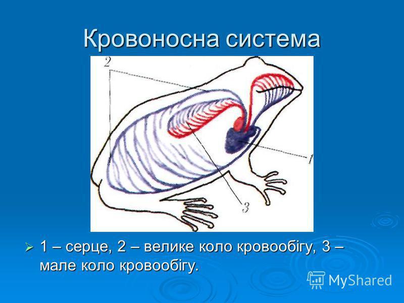Кровоносна система 1 – серце, 2 – велике коло кровообігу, 3 – мале коло кровообігу. 1 – серце, 2 – велике коло кровообігу, 3 – мале коло кровообігу.
