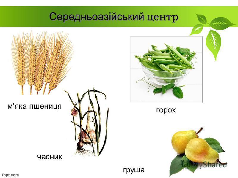 горох Середньоазійський центр мяка пшениця груша часник
