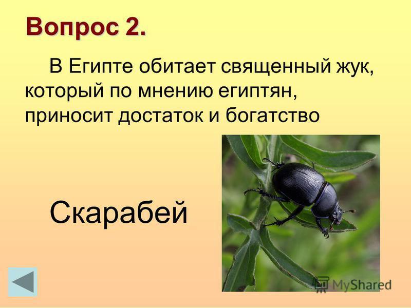 Вопрос 2. В Египте обитает священный жук, который по мнению египтян, приносит достаток и богатство Скарабей