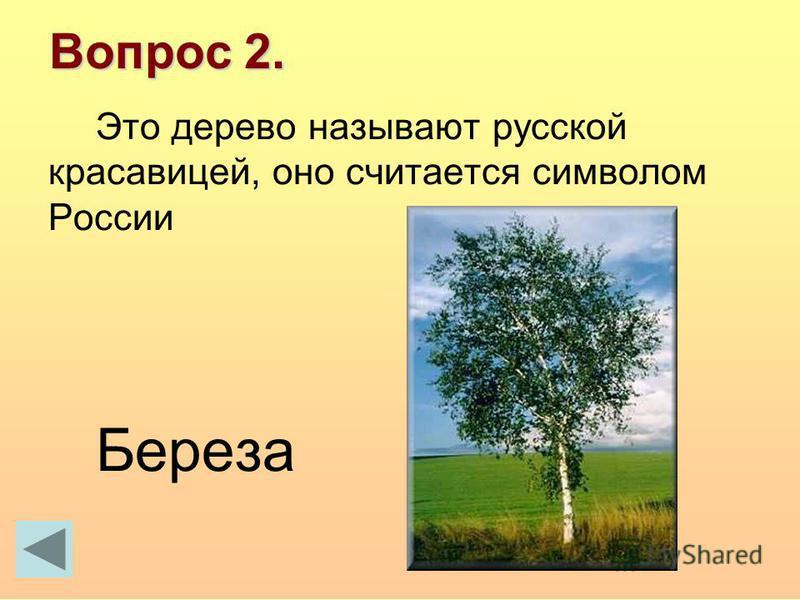 Вопрос 2. Это дерево называют русской красавицей, оно считается символом России Береза
