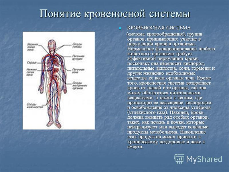 Понятие кровеносной системы КРОВЕНОСНАЯ СИСТЕМА КРОВЕНОСНАЯ СИСТЕМА (система кровообращения), группа органов, принимающих участие в циркуляции крови в организме. Нормальное функционирование любого животного организма требует эффективной циркуляции кр