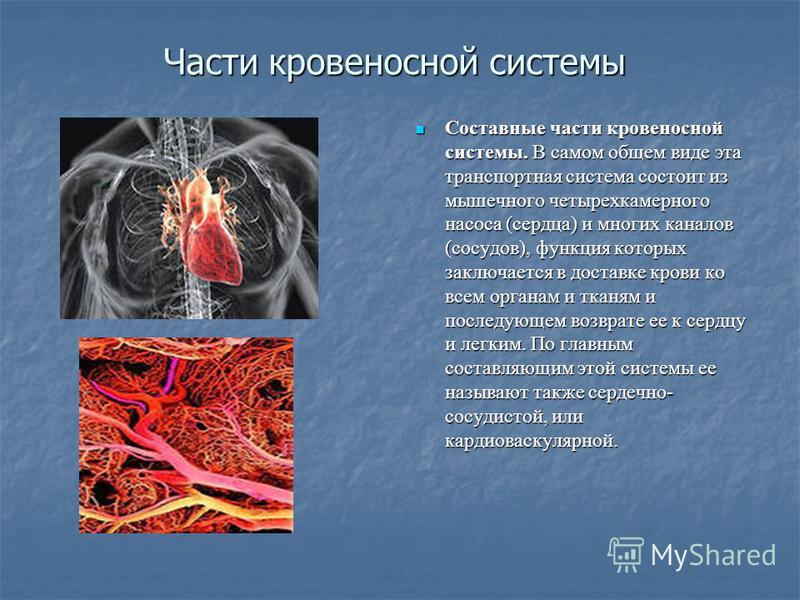 Части кровеносной системы Составные части кровеносной системы. В самом общем виде эта транспортная система состоит из мышечного четырехкамерного насоса (сердца) и многих каналов (сосудов), функция которых заключается в доставке крови ко всем органам