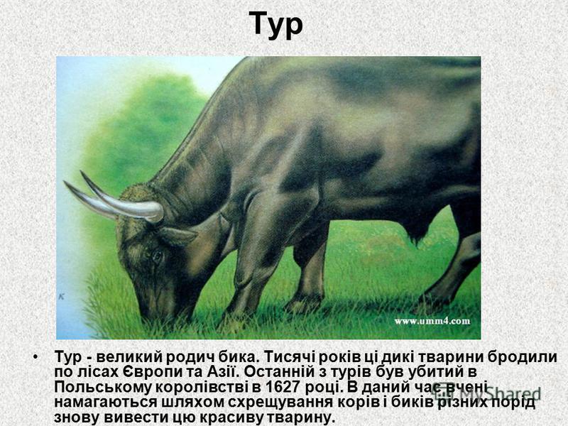 Тур Тур - великий родич бика. Тисячі років ці дикі тварини бродили по лісах Європи та Азії. Останній з турів був убитий в Польському королівстві в 1627 році. В даний час вчені намагаються шляхом схрещування корів і биків різних порід знову вивести цю