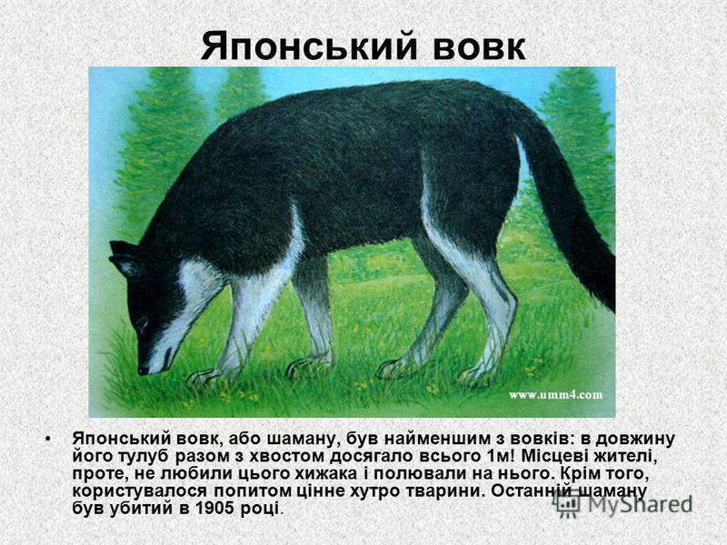 Японський вовк Японський вовк, або шаману, був найменшим з вовків: в довжину його тулуб разом з хвостом досягало всього 1м! Місцеві жителі, проте, не любили цього хижака і полювали на нього. Крім того, користувалося попитом цінне хутро тварини. Остан