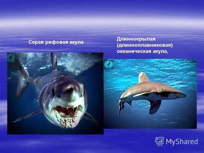 Серая рифовая акула Длиннокрылая (длинноплавниковая) океаническая акула,