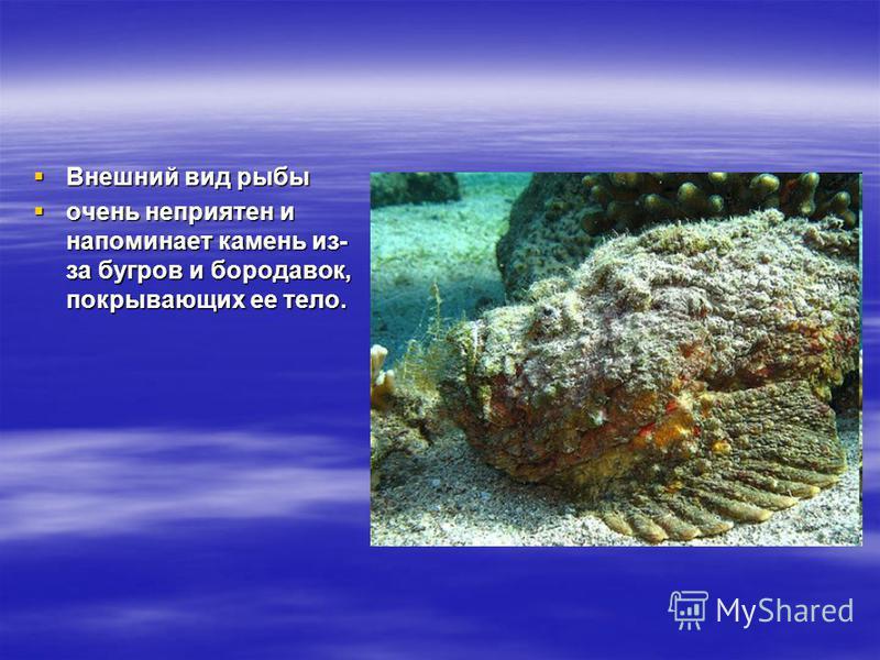 Внешний вид рыбы Внешний вид рыбы очень неприятен и напоминает камень из- за бугров и бородавок, покрывающих ее тело. очень неприятен и напоминает камень из- за бугров и бородавок, покрывающих ее тело.