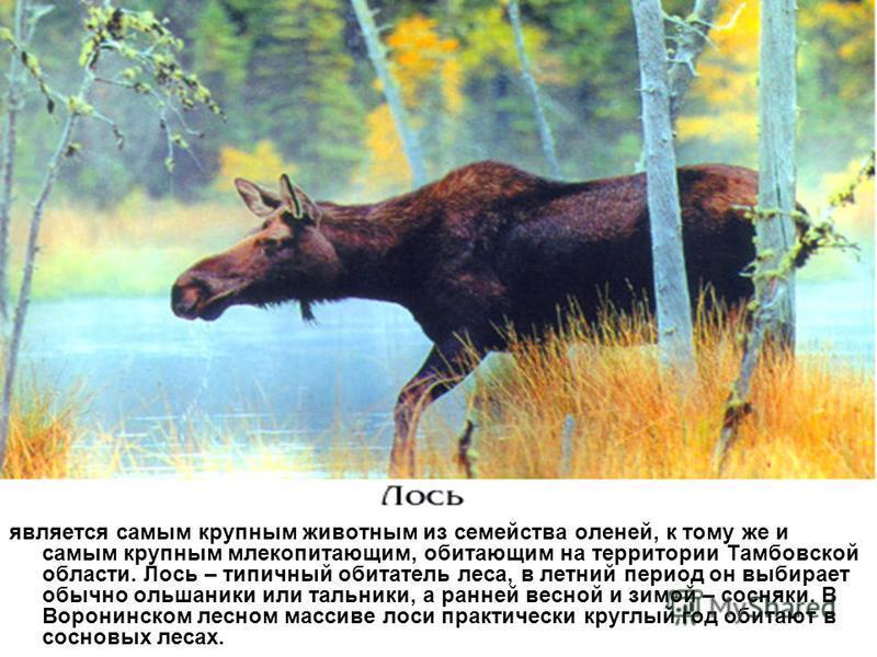 является самым крупным животным из семейства оленей, к тому же и самым крупным млекопитающим, обитающим на территории Тамбовской области. Лось – типичный обитатель леса, в летний период он выбирает обычно ольшаники или тальники, а ранней весной и зим