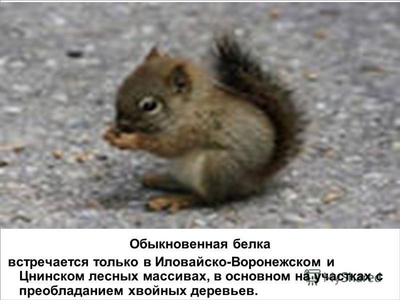 Обыкновенная белка встречается только в Иловайско-Воронежском и Цнинском лесных массивах, в основном на участках с преобладанием хвойных деревьев.