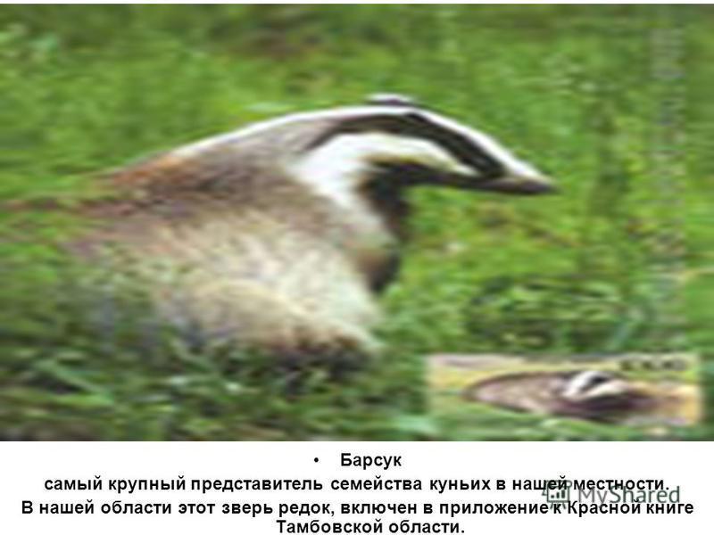 Барсук самый крупный представитель семейства куньих в нашей местности. В нашей области этот зверь редок, включен в приложение к Красной книге Тамбовской области.