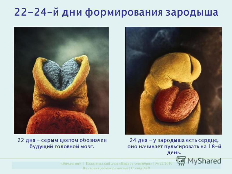 «Биология» | Издательский дом «Первое сентября» | 22/2010 Внутриутробное развитие | Слайд 9 22-24-й дни формирования зародыша 22 дня - серым цветом обозначен будущий головной мозг. 24 дня - у зародыша есть сердце, оно начинает пульсировать на 18-й де