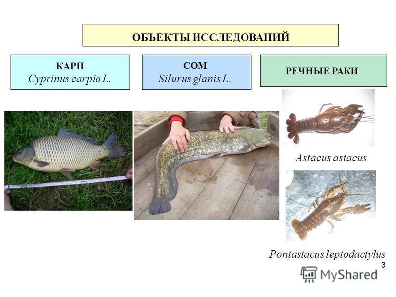 Pontastacus leptodactylus 3 ОБЪЕКТЫ ИССЛЕДОВАНИЙ КАРП Cyprinus carpio L. СОМ Silurus glanis L. РЕЧНЫЕ РАКИ Astacus astacus