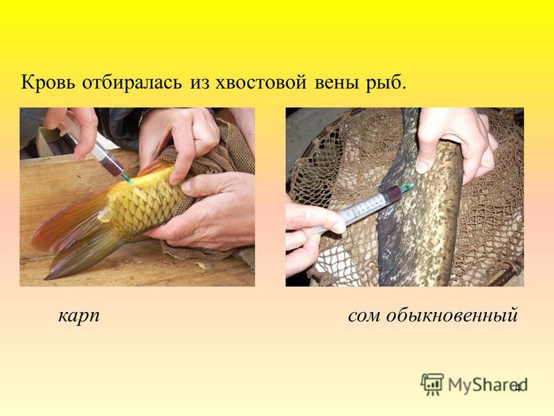 4 Кровь отбиралась из хвостовой вены рыб. карп сом обыкновенный