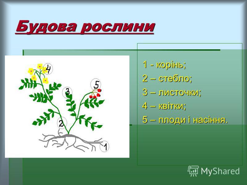 Будова рослини 1 - корінь; 2 – стебло; 3 – листочки; 4 – квітки; 5 – плоди і насіння.