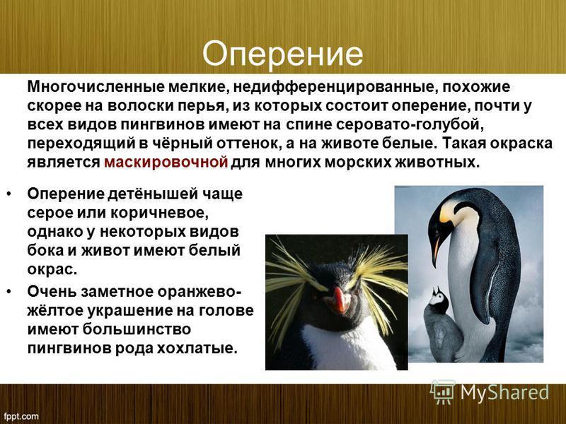 Оперение Многочисленные мелкие, недифференцированные, похожие скорее на волоски перья, из которых состоит оперение, почти у всех видов пингвинов имеют на спине серовато-голубой, переходящий в чёрный оттенок, а на животе белые. Такая окраска является