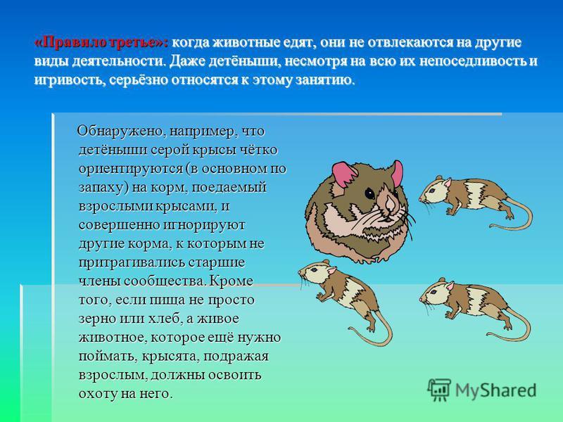 «Правило третье»: когда животные едят, они не отвлекаются на другие виды деятельности. Даже детёныши, несмотря на всю их непоседливость и игривость, серьёзно относятся к этому занятию. Обнаружено, например, что детёныши серой крысы чётко ориентируютс