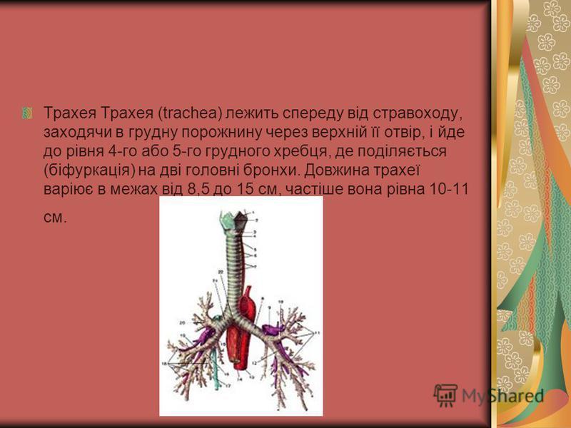 Трахея Трахея (trachea) лежить спереду від стравоходу, заходячи в грудну порожнину через верхній її отвір, і йде до рівня 4-го або 5-го грудного хребця, де поділяється (біфуркація) на дві головні бронхи. Довжина трахеї варіює в межах від 8,5 до 15 см