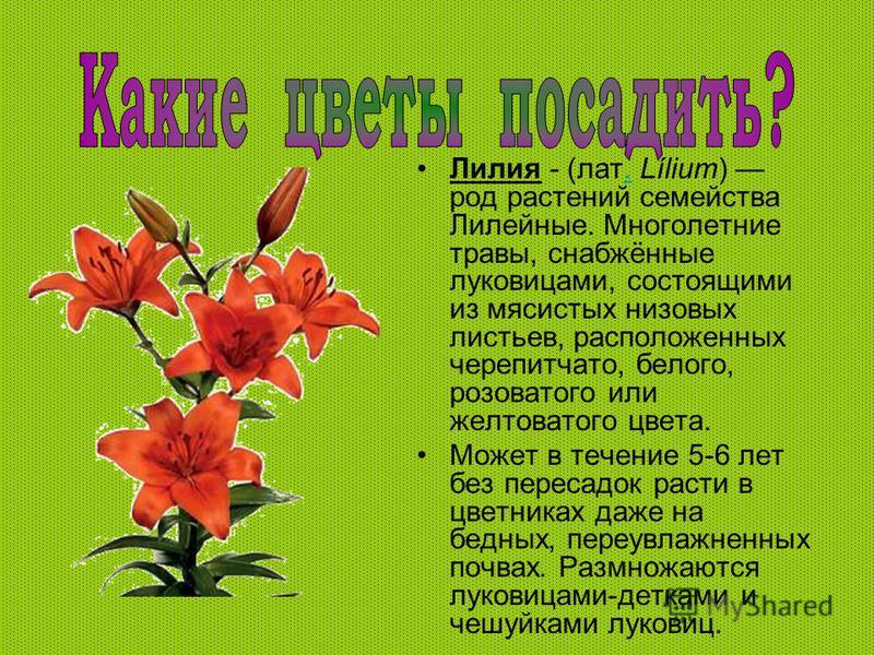Лилия - (лат. Lílium) род растений семейства Лилейные. Многолетние травы, снабжённые луковицами, состоящими из мясистых низовых листьев, расположенных черепитчато, белого, розоватого или желтоватого цвета.. Может в течение 5-6 лет без пересадок расти
