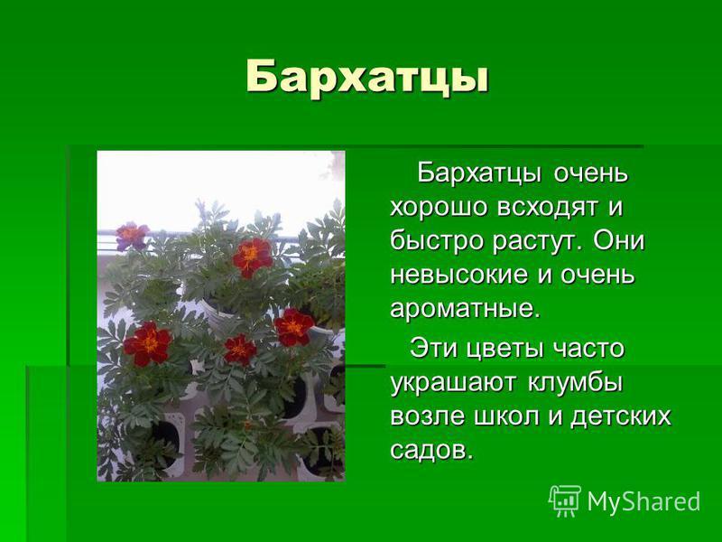 Бархатцы Бархатцы очень хорошо всходят и быстро растут. Они невысокие и очень ароматные. Бархатцы очень хорошо всходят и быстро растут. Они невысокие и очень ароматные. Эти цветы часто украшают клумбы возле школ и детских садов. Эти цветы часто украш