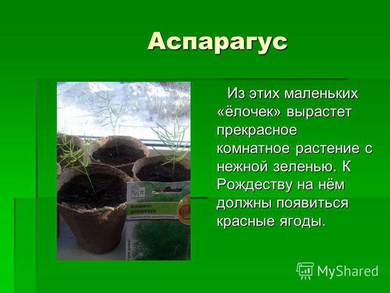 Аспарагус Из этих маленьких «ёлочек» вырастет прекрасное комнатное растение с нежной зеленью. К Рождеству на нём должны появиться красные ягоды. Из этих маленьких «ёлочек» вырастет прекрасное комнатное растение с нежной зеленью. К Рождеству на нём до