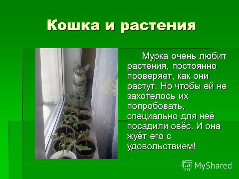 Кошка и растения Мурка очень любит растения, постоянно проверяет, как они растут. Но чтобы ей не захотелось их попробовать, специально для неё посадили овёс. И она жуёт его с удовольствием!