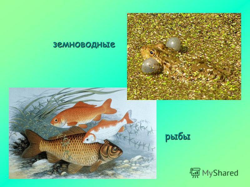 земноводные рыбы
