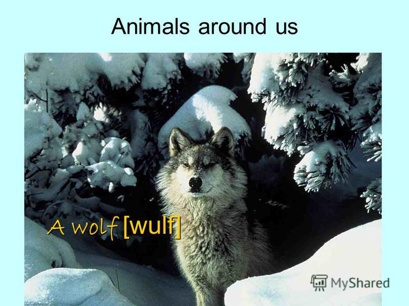 December 12th, 2008CLASSWORK Аnimals around usA wolf [wulf]