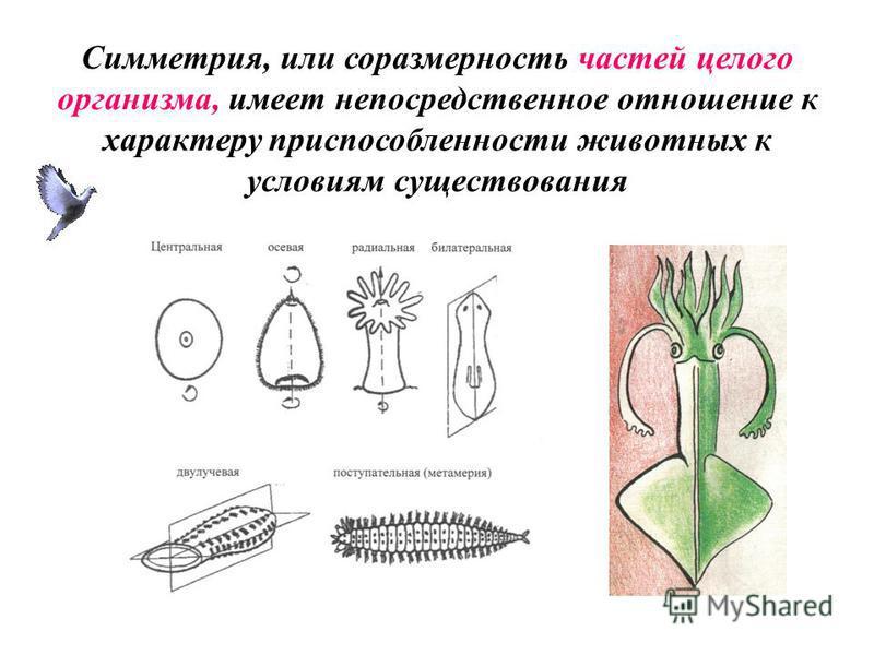Симметрия, или соразмерность частей целого организма, имеет непосредственное отношение к характеру приспособленности животных к условиям существования