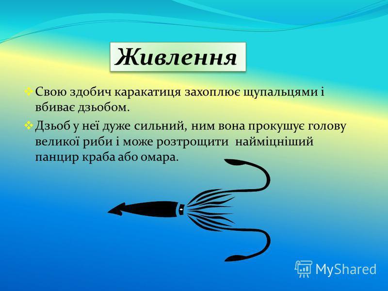 Живлення Свою здобич каракатиця захоплює щупальцями і вбиває дзьобом. Дзьоб у неї дуже сильний, ним вона прокушує голову великої риби і може розтрощити найміцніший панцир краба або омара.