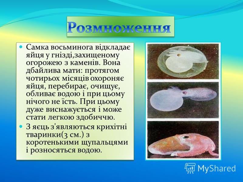 Самка восьминога відкладає яйця у гнізді,захищеному огорожею з каменів. Вона дбайлива мати: протягом чотирьох місяців охороняє яйця, перебирає, очищує, обливає водою і при цьому нічого не їсть. При цьому дуже виснажується і може стати легкою здобиччю