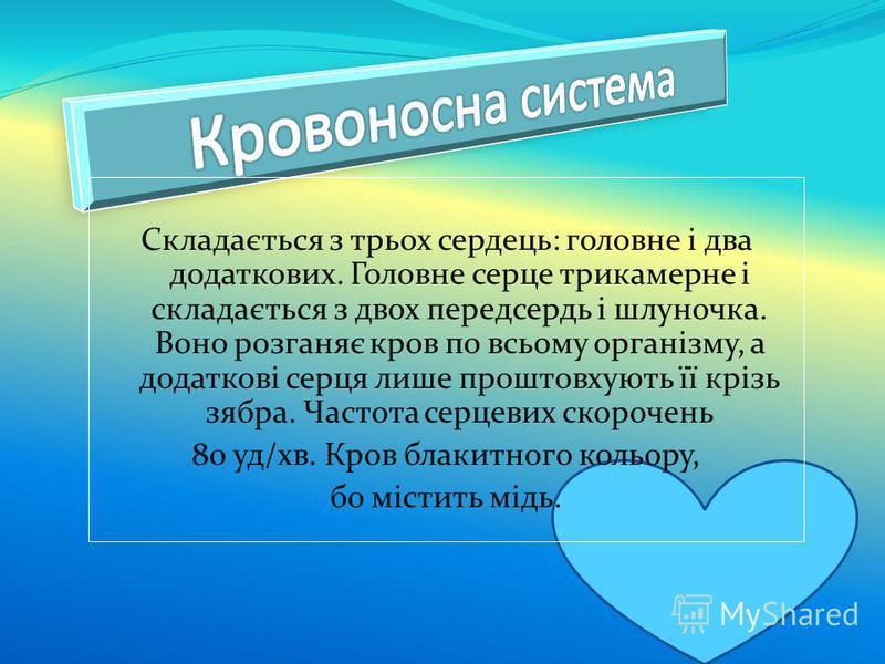 Складається з трьох сердець: головне і два додаткових. Головне серце трикамерне і складається з двох передсердь і шлуночка. Воно розганяє кров по всьому організму, а додаткові серця лише проштовхують її крізь зябра. Частота серцевих скорочень 80 уд/х