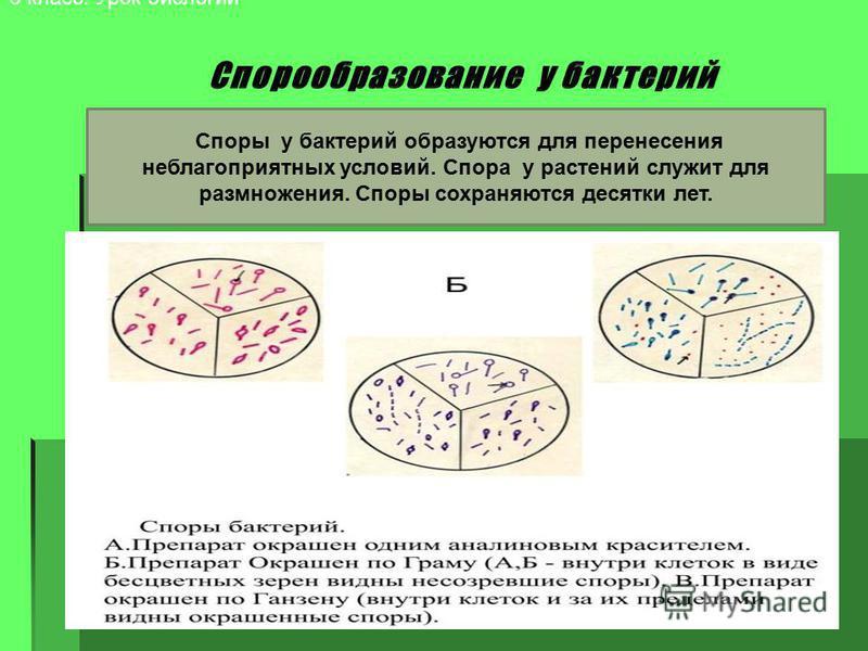 6 класс. Урок биологии Споры у бактерий образуются для перенесения неблагоприятных условий. Спора у растений служит для размножения. Споры сохраняются десятки лет.