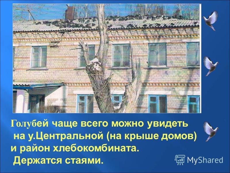 Голуб ей чаще всего можно увидеть на у.Центральной (на крыше домов) и район хлебокомбината. Держатся стаями.