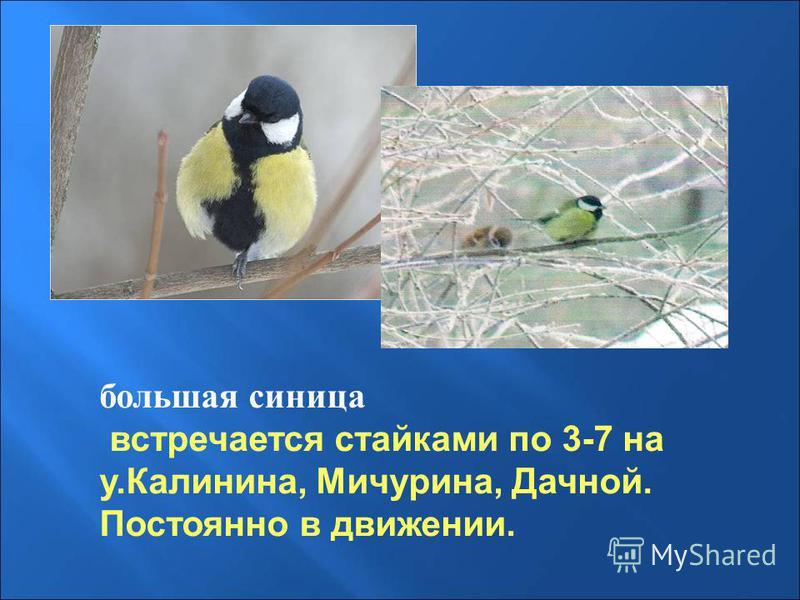 большая синица встречается стайками по 3-7 на у.Калинина, Мичурина, Дачной. Постоянно в движении.