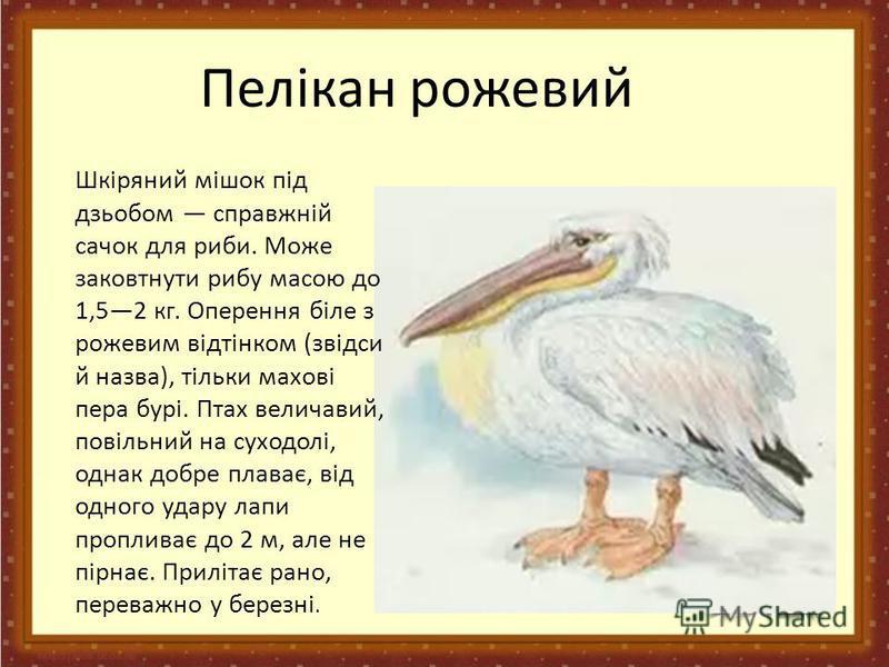 Пелікан рожевий Шкіряний мішок під дзьобом справжній сачок для риби. Може заковтнути рибу масою до 1,52 кг. Оперення біле з рожевим відтінком (звідси й назва), тільки махові пера бурі. Птах величавий, повільний на суходолі, однак добре плаває, від од