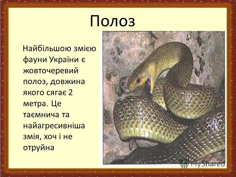 Полоз Найбільшою змією фауни України є жовточеревий полоз, довжина якого сягає 2 метра. Це таємнича та найагресивніша змія, хоч і не отруйна