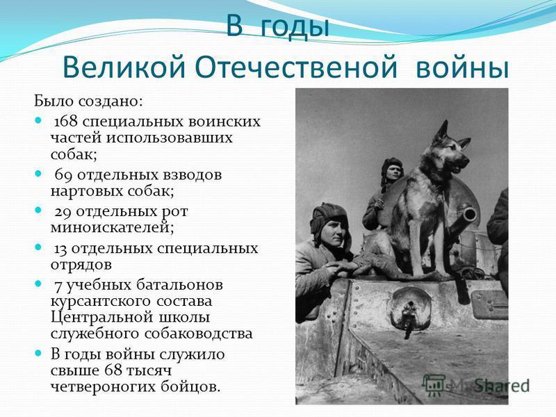 В годы Великой Отечественой войны Было создано: 168 специальных воинских частей использовавших собак; 69 отдельных взводов нартовых собак; 29 отдельных рот миноискателей; 13 отдельных специальных отрядов 7 учебных батальонов курсантского состава Цент