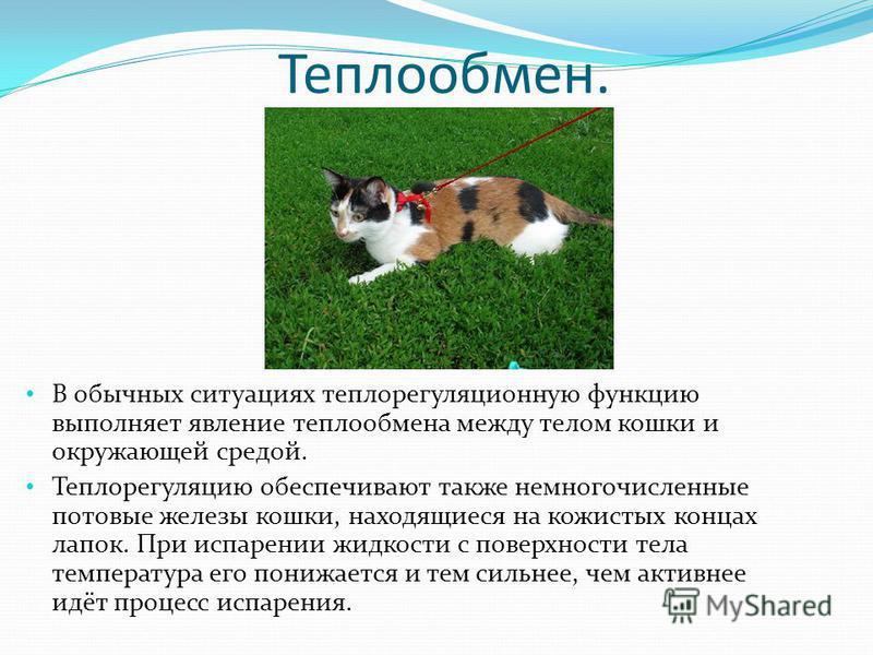 Теплообмен. В обычных ситуациях теплорегуляционную функцию выполняет явление теплообмена между телом кошки и окружающей средой. Теплорегуляцию обеспечивают также немногочисленные потовые железы кошки, находящиеся на кожистых концах лапок. При испарен