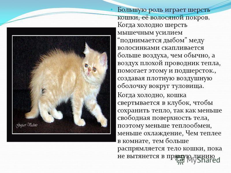 Большую роль играет шерсть кошки, её волосяной покров. Когда холодно шерсть мышечным усилием поднимается дыбом меду волосинками скапливается больше воздуха, чем обычно, а воздух плохой проводник тепла, помогает этому и подшерсток., создавая плотную в